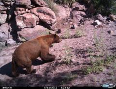 Black Bear in Gaan Canyon