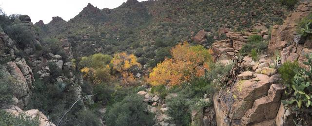 Sycamores in Gaan Canyon Fall 2014