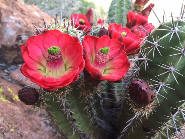 Endangered Arizona Hedgehog Cactus at Oak Flat II