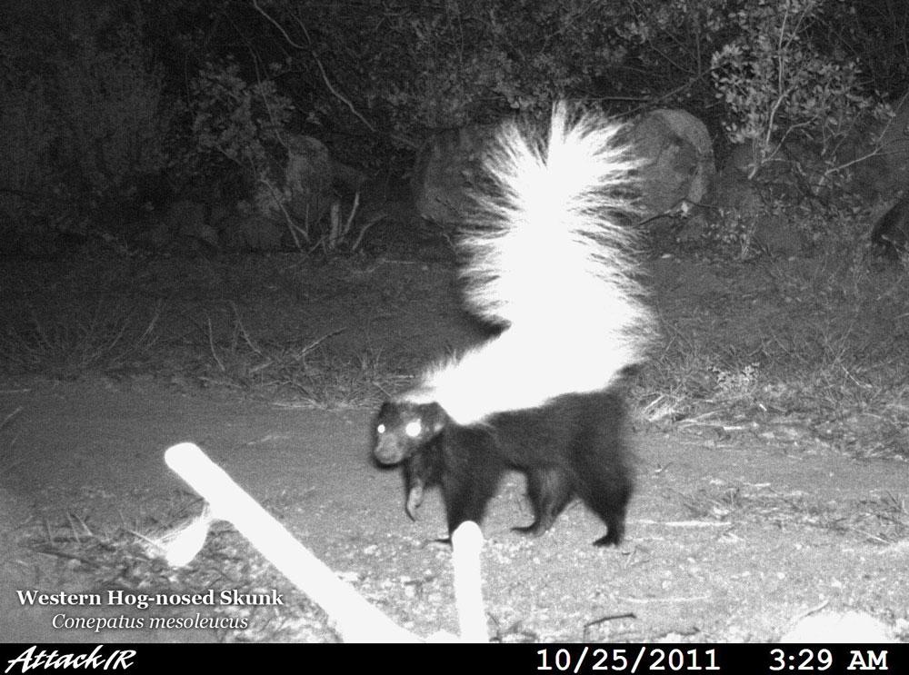 hog nosed skunk