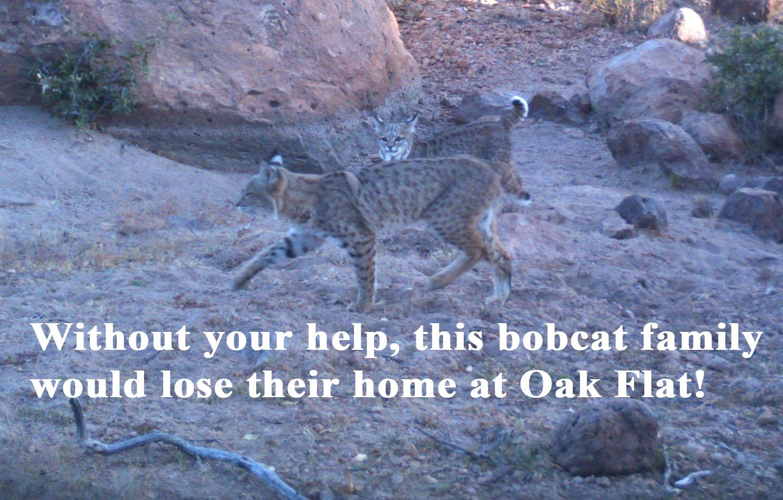 Bobcat-plea_0