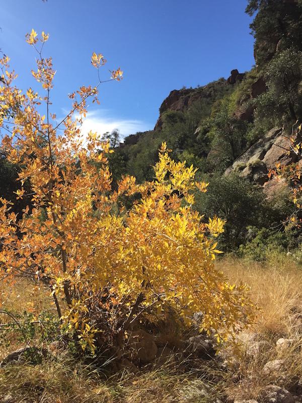Gaan-Canyon-Fall-Sycamore_0